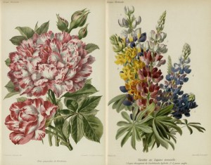 hortalia fleurs